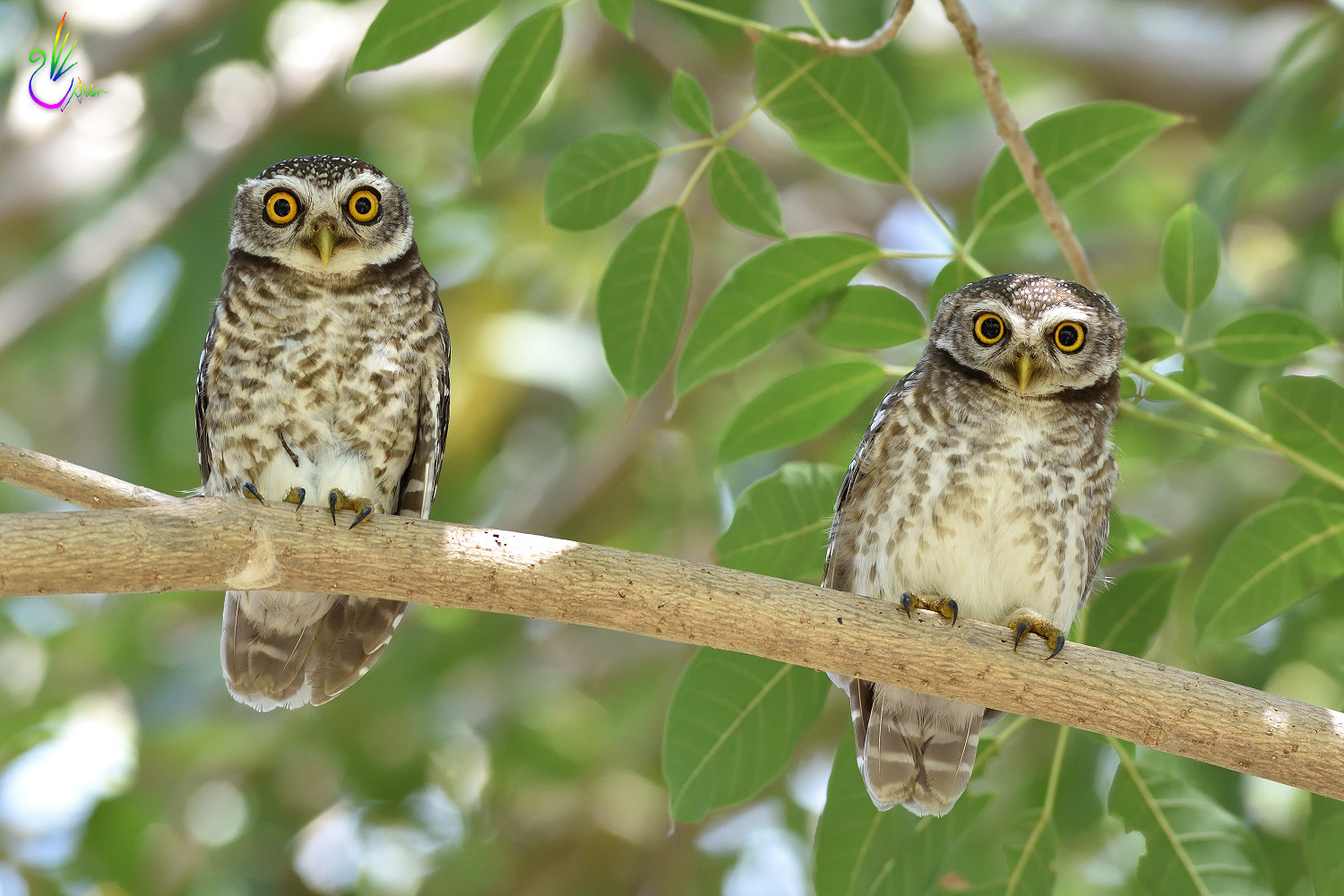 Spotted_Owlet_9329