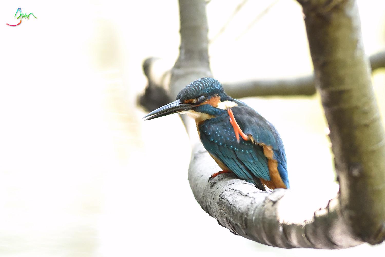 Common_Kingfisher_3104