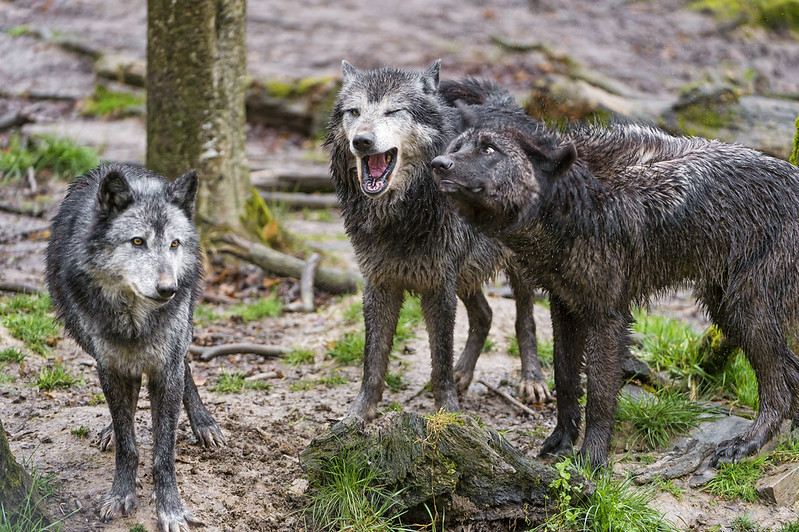 Three wolves interracting