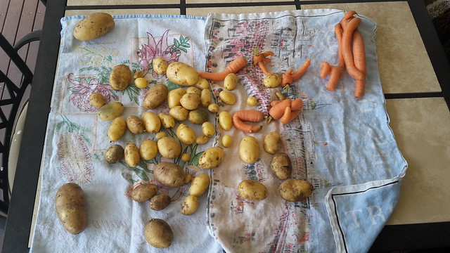 Potatoes and Carrots from our veggie garden