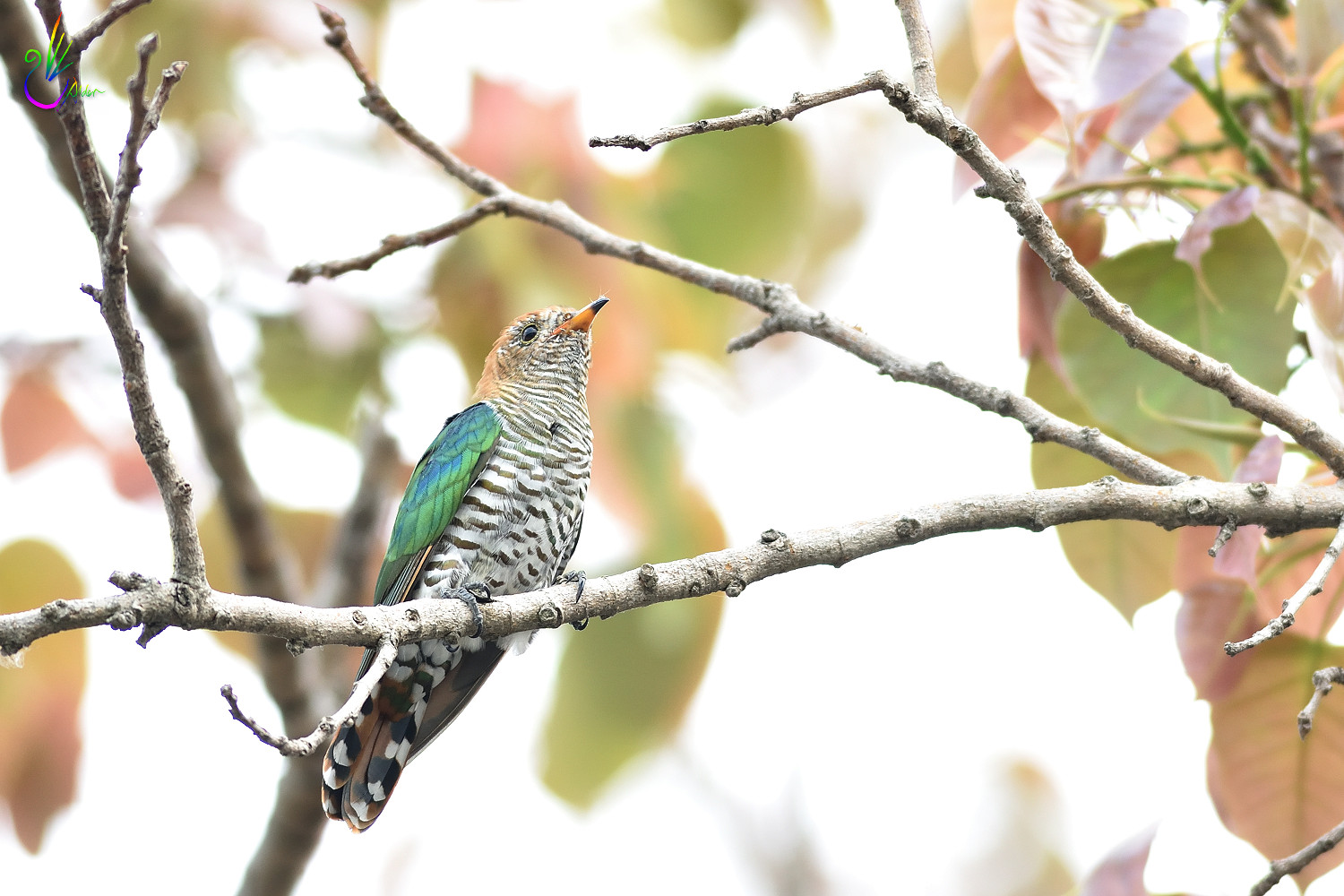 Asian_Emerald_Cuckoo_7005