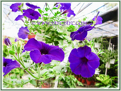 Purple-coloured Petunias at a garden nursery in the neighbourhood, 22 Aug 2012