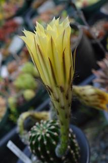 Echinopsis eyriesii エキノプシス 黄花短毛丸