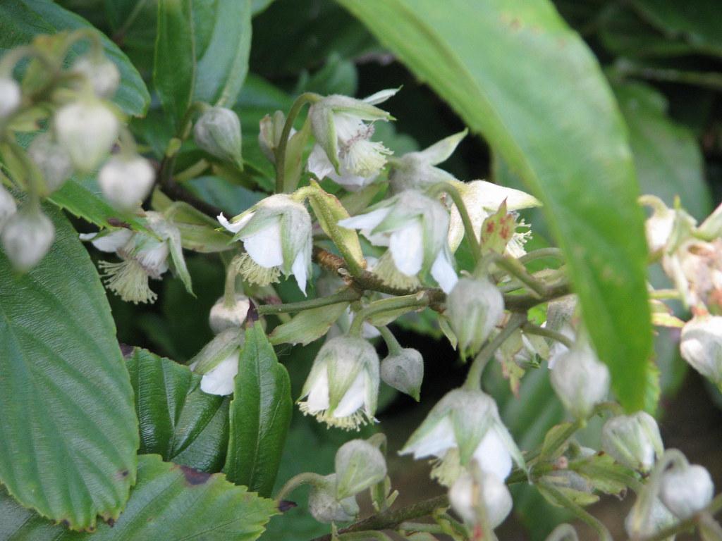 Rubus acuminatus
