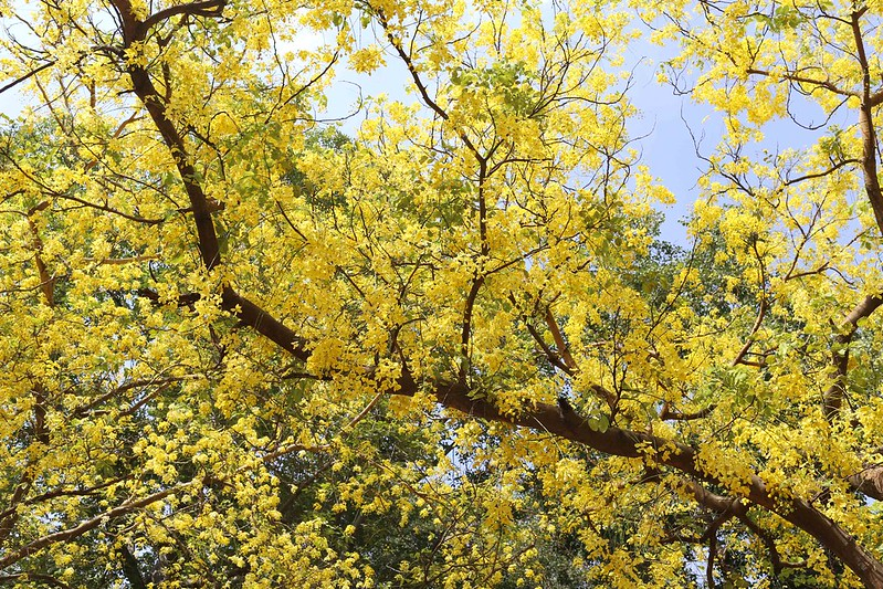 City Season - Amaltas Trees, Second Avenue, Jor Bagh