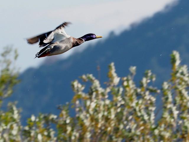 Mallard duck (マガモ)