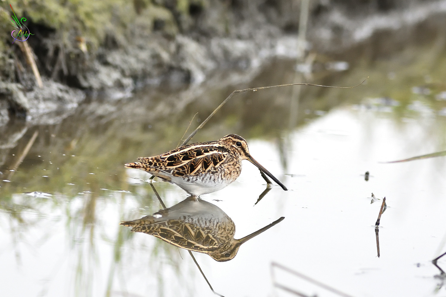 Common_Snipe_6215