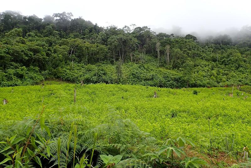Plantación de coca.