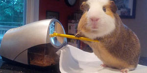 Such An Active Guinea Pig