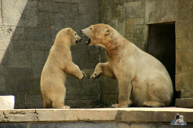 Eisbär Fiete im Zoo Rostock  221