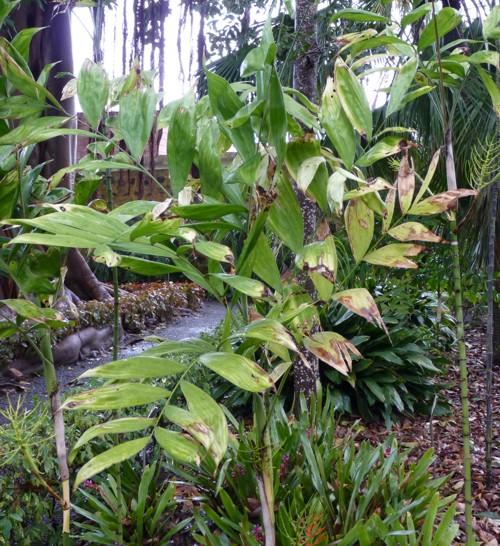 Chamaedorea oblongata 18605286340_edaef4f512_o