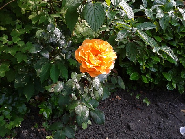 A Rose in one of our neglected Rose beds.