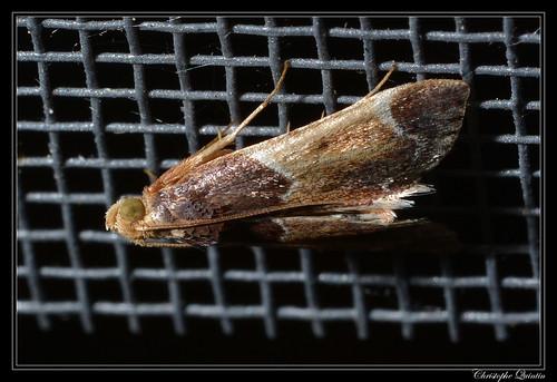 Pyrale de farine (Pyralis farinalis)
