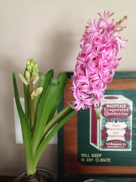 hyacinth week 3