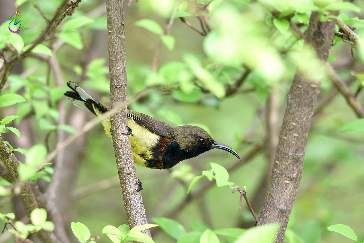 Olive-backed_Sunbird_2170