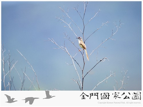 灰頭鷦鶯-02