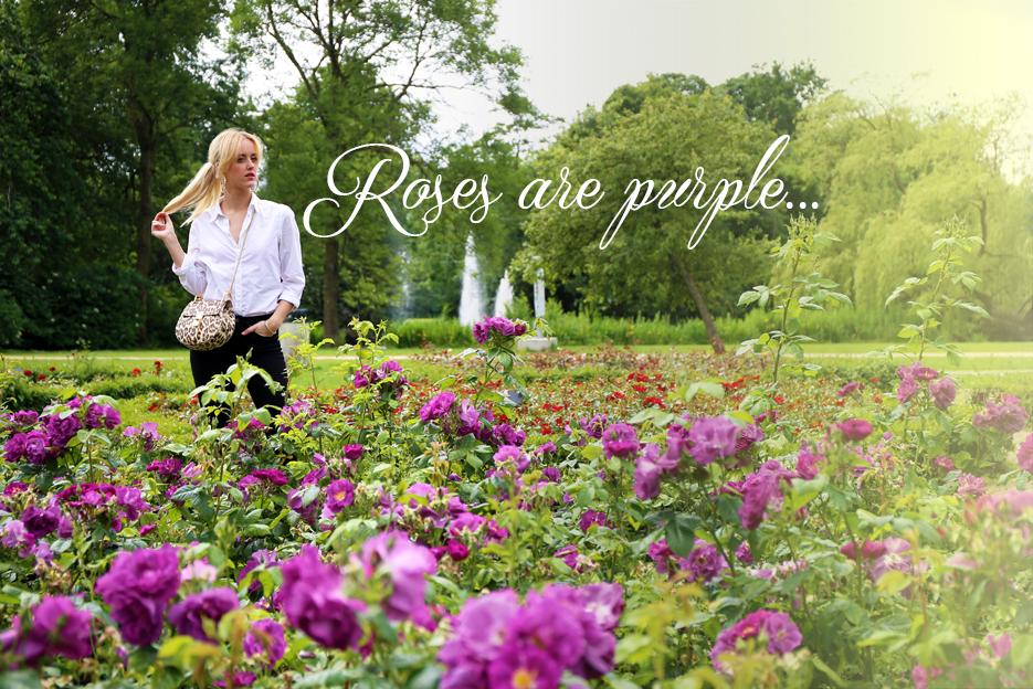 POSE-roses-purple-1