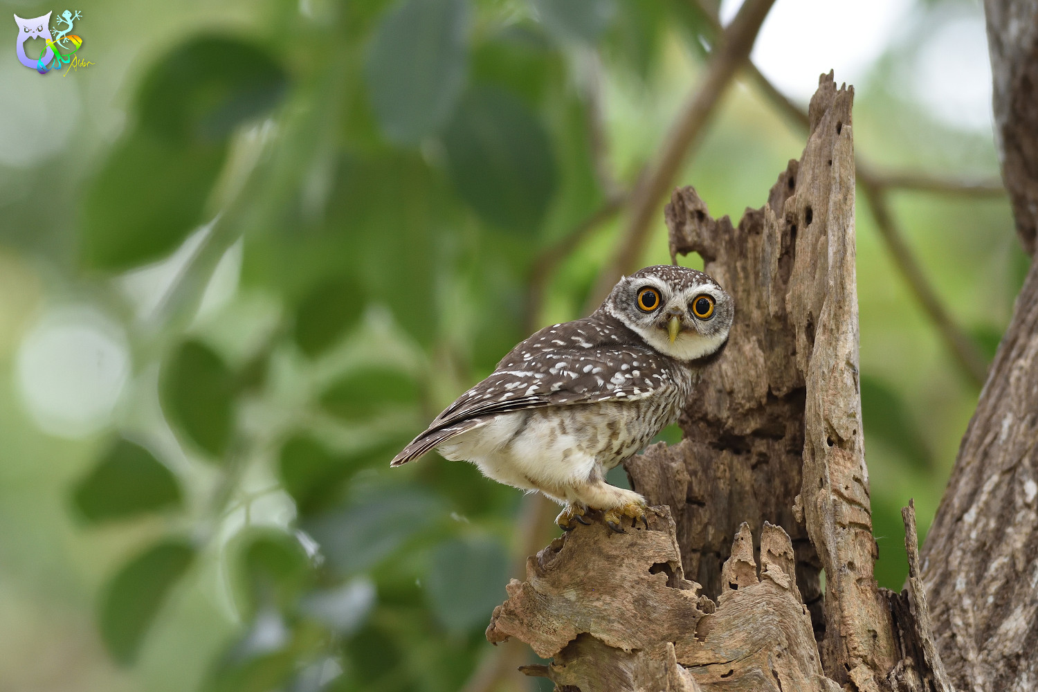 Spotted_Owlet_3328