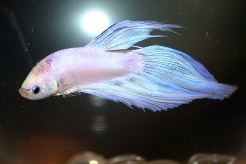 how to train a betta fish to jump