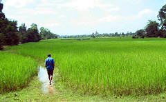 Cambodia:Siem Reap : Rice field | by Frédéric Poirot