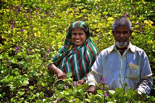 Working together in their field in Comilla, Bangladesh | by IFPRI Bangladesh PRSSP Images