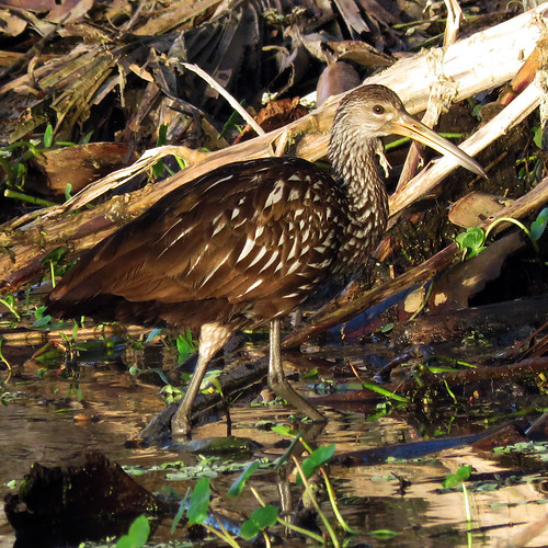 Limpkin | by Powered By Birds