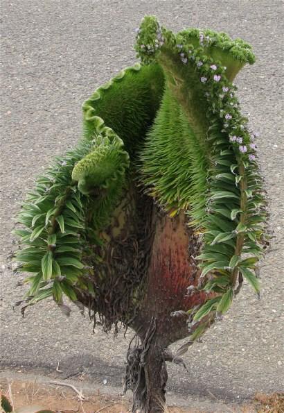 Fasciated stem of Pride of Madeira