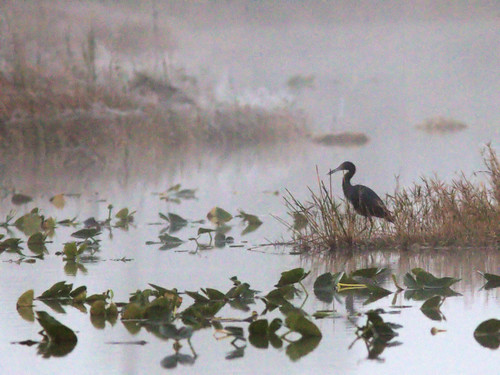 Little Blue Heron in fog before sunrise 02-20170206