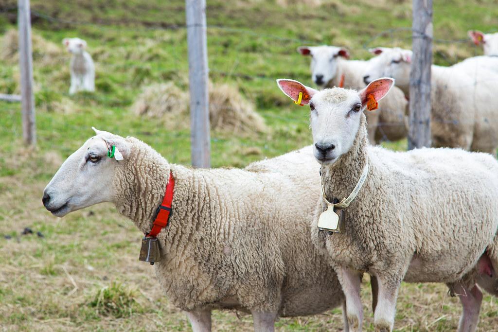 Sheep-16