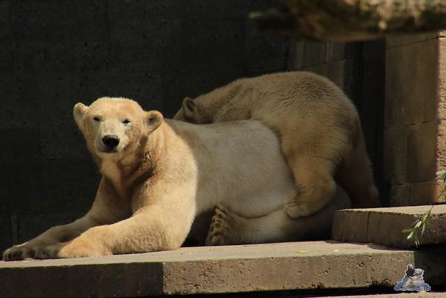 Eisbär Fiete im Zoo Rostock  214