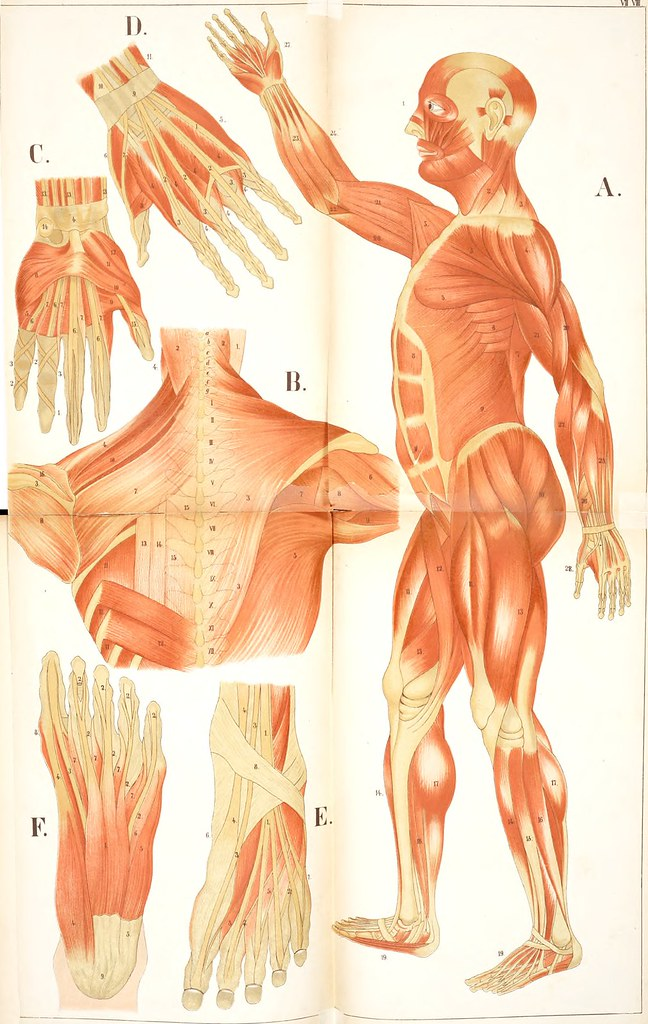 Image From Page 55 Of An Atlas Of Anatomy Or Pictures Flickr