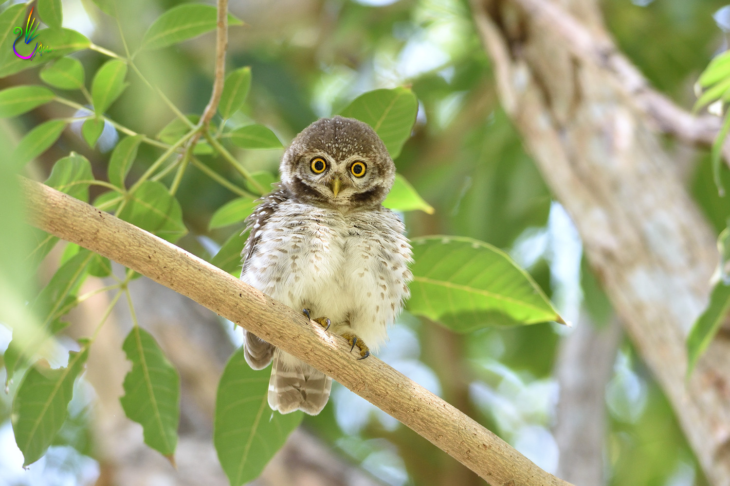 Spotted_Owlet_6806
