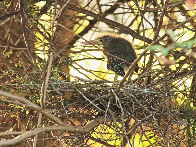 Green Heron nestling 20150601