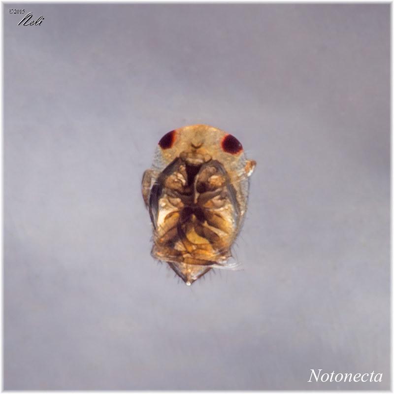 Notonecta maculata 18522950249_7bfcb0cb6c_c