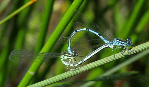 Azure Damselfly Coenagrion puella Tophill Low NR, East Yorkshire June 2015