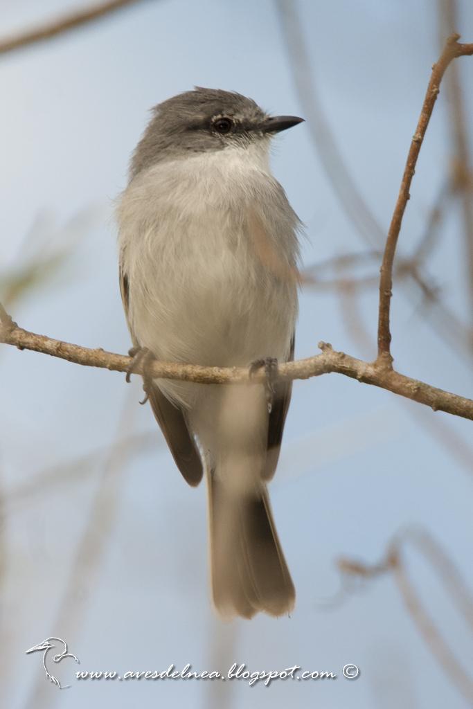 Suirirí común (Suiriri Flycatcher) Suiriri suiriri