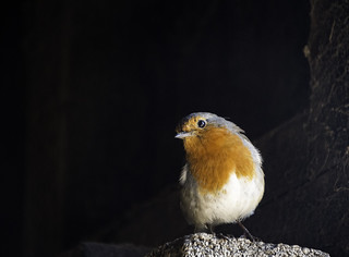 Robin | by georgeupstairs