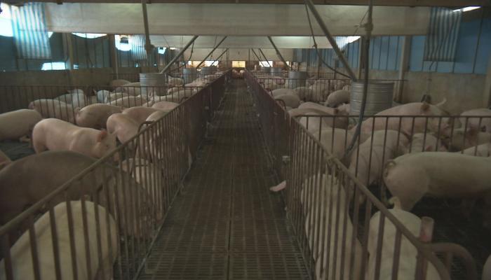 養豬戶利用沼氣發電。攝影:張光宗、陳添寶。圖片來源:公共電視節目我們的島。