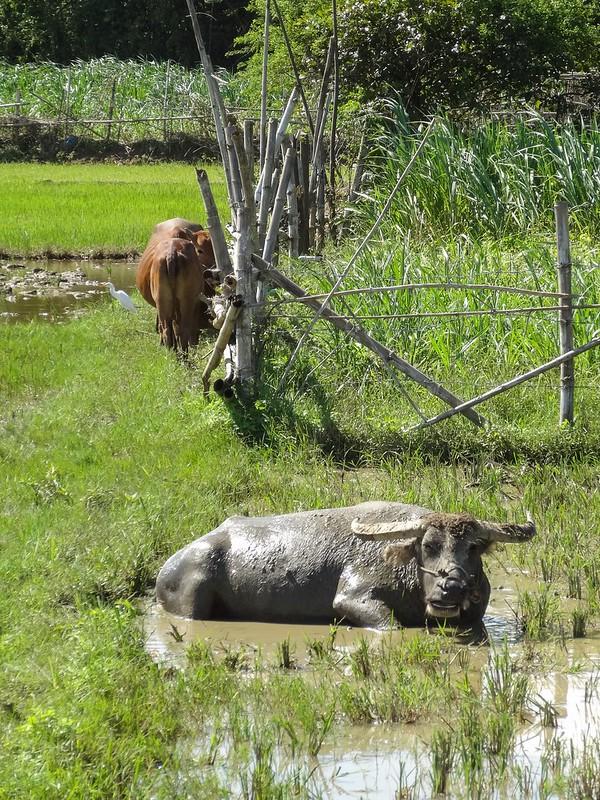 mud buffalo