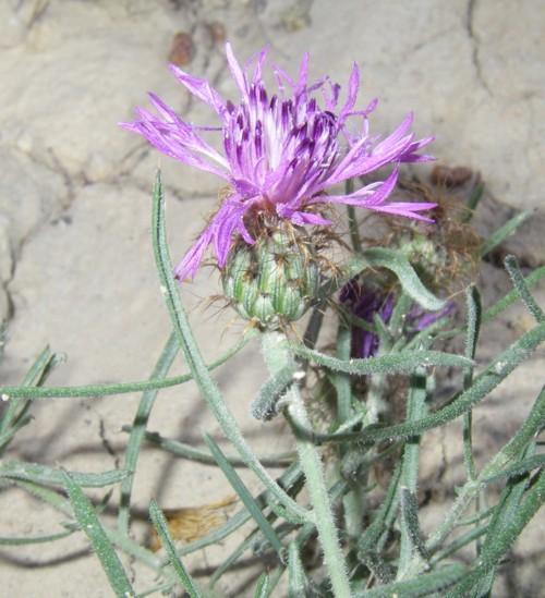 Centaurea linifolia 18668249782_4134ab98d6_o