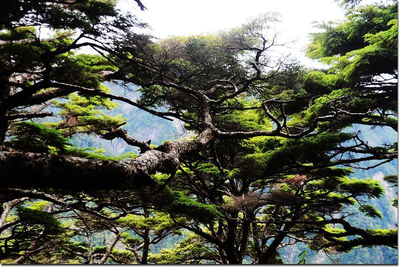 玉山登山步道鐵杉