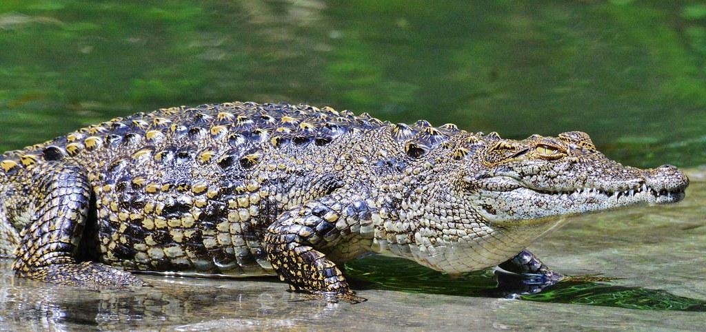 Zambia Croc Zambezi River DSC_5943 | Close up of a Croc ...
