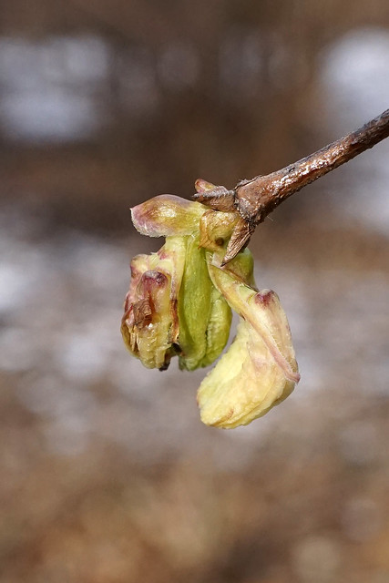 Lonicera standishii forma lancifolia (Narrowleaf Standish Honeysuckle)