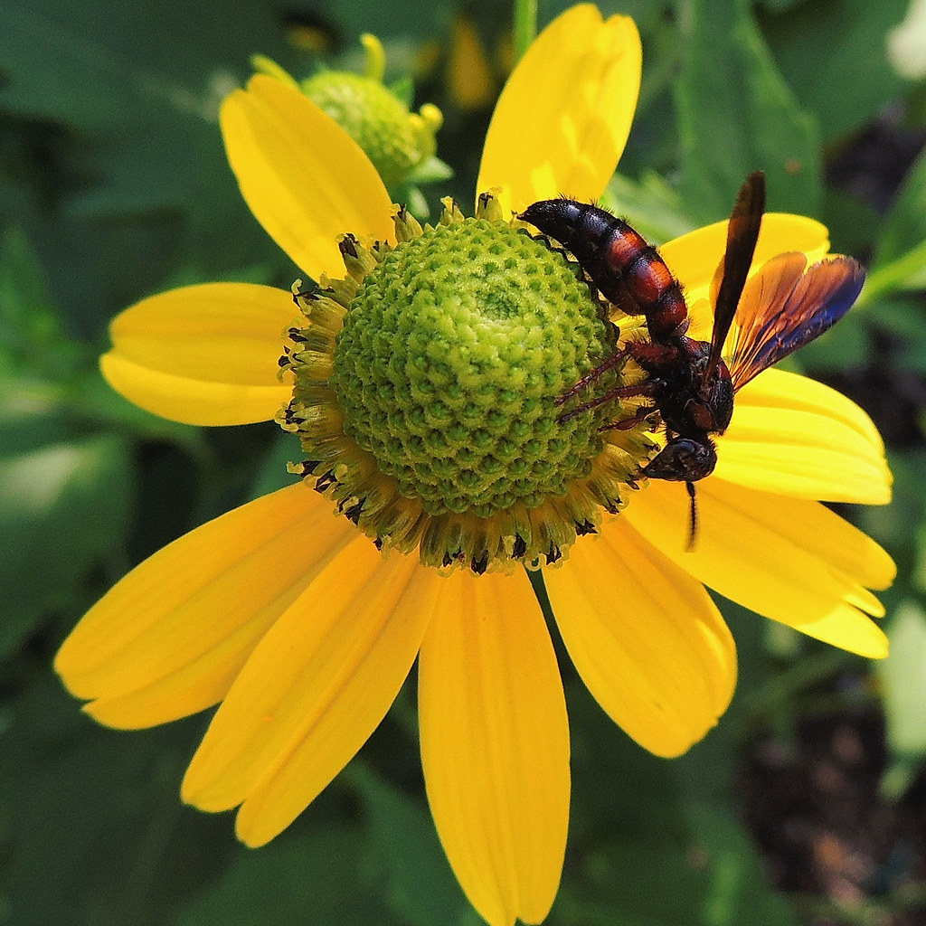Green And Yellow Coneflower With A Wasp For The Weekly Flickr