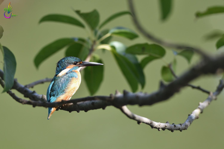 Common_Kingfisher_0090