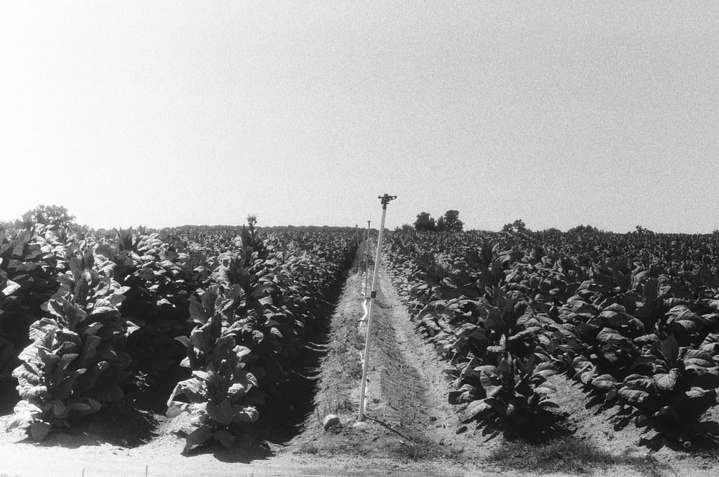 Campo de tabaco I.