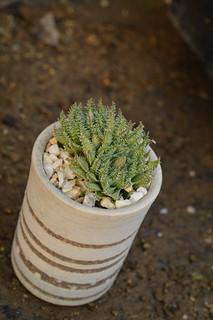 DSC_5158 Haworthia luteorosea ハオルチア ルテオローザ