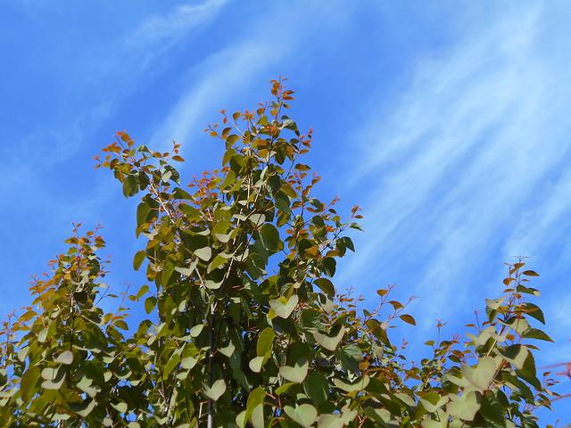 Katsura (Cercidiphyllum japonicum) ja untuvapilviä 12.6.2015 Meilahden arboretum Helsinki