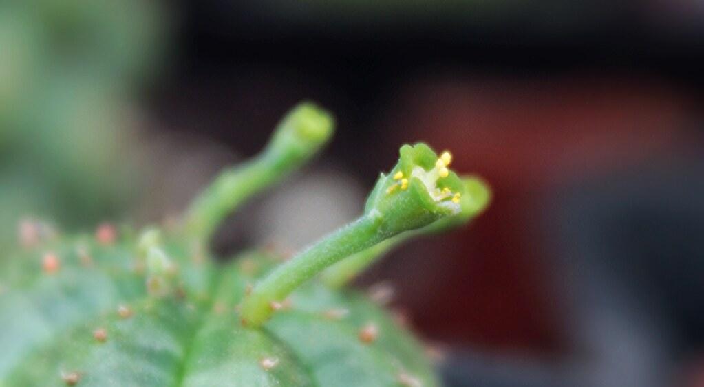Euphorbia obesa x meloformis - Page 2 18631248892_cc9991557e_b