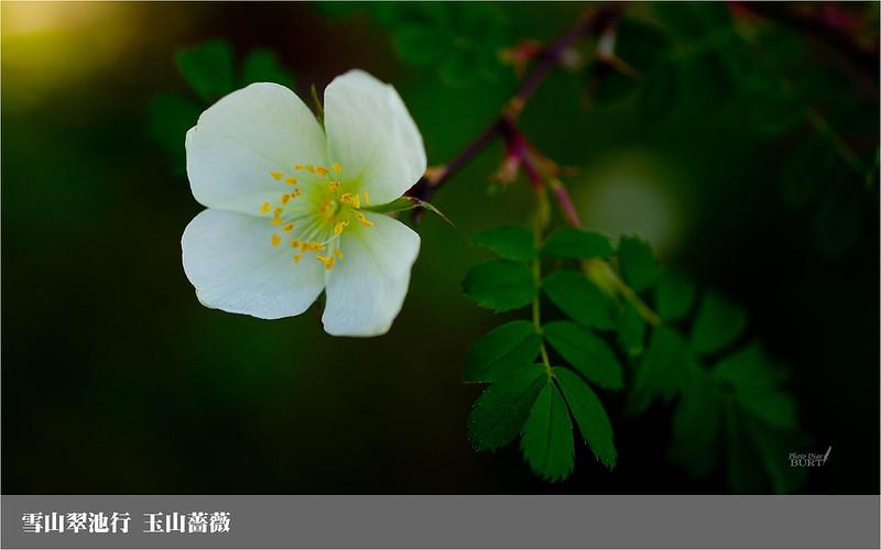 雪山翠池行_玉山薔薇